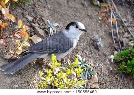 Grey Jay or Whiskey Jack bird. Manning Park. Hope. British Columbia. Canada.
