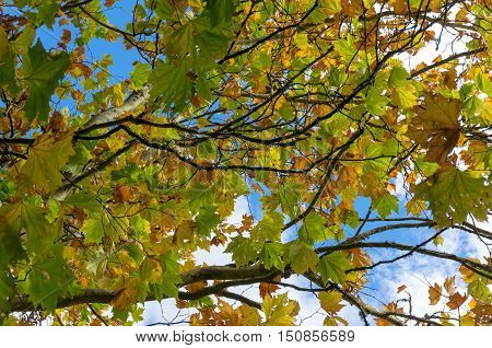 Autumn Yellow Leaves Against Sky On The Background. Fall Foliage