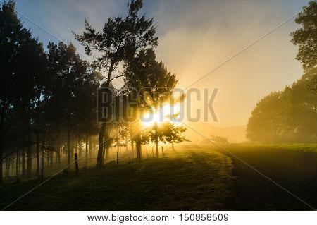 Sun shining through tree crowns and early morning fog. Dorrigo NSW Australia