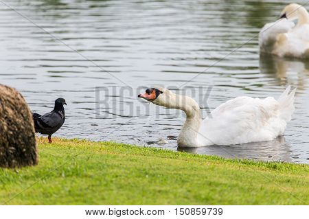 White swan eating food while floating on water surface near green grass bank which looking to pigeon