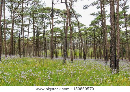 Pine tree forest and flower field at Phu Soi Dao national park Uttaradit province Thailand