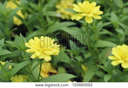 Yellow Daffodils In Garden
