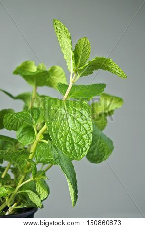 Mentha Longifolia Plant On Grey Wall Background