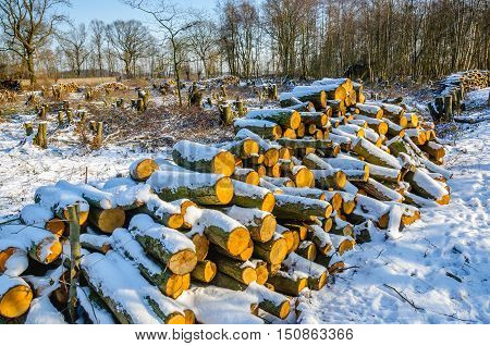 Winter forest in the Netherlands with a heap of felled trunks in the foreground. The sun is shining and a layer of snow covers the landscape.