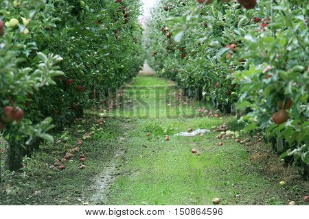 Apple Orchard ready for harvest. Mornig shot after the rain