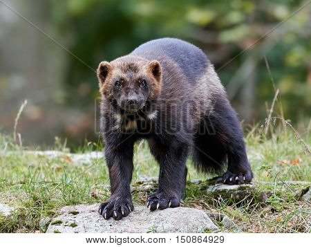 Wolverine (Gulo gulf) standing on a rock with vegetaion in the background