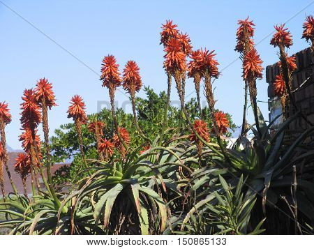 Aloes From Western Cape South Africa 01asa
