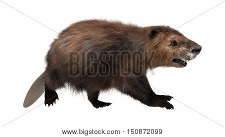 3D Rendering Beaver On White