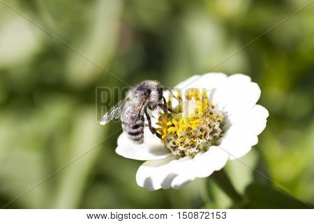 The bee on a flower collects nectar not to starve in the winter