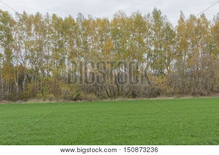 autumn trees birch trees with colorful yellow green orange autumn foliage growing in a wheat field with green sprouts of winter wheat Russia Tula oblast