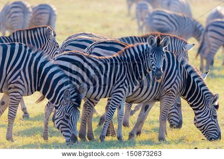 Herd Of Zebras Grazing In The Bush. Glowing Warm Sunset Light. Wildlife Safari In The African Nation