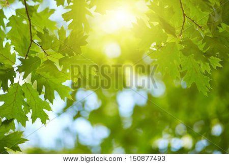 Fresh green leaves background. Sun shining through the tree