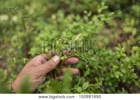 Hand with beautiful blush of forest's blueberry