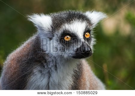 Portrait of young lemur katta (Lemur catta), The Netherlands