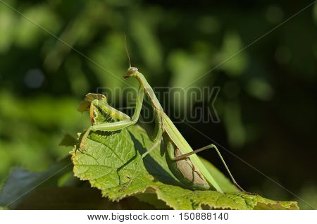 European or praying mantis (Mantis religiosa) hunting in a garden