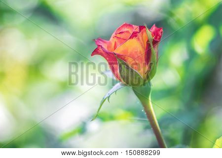 Some orange yellow pink roses in the garden against green background, flowers in bloom closeup, card with copy space