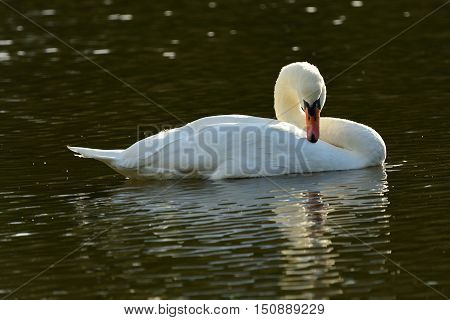 White swan grooming in water landscape well-lit close-up
