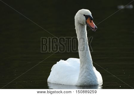 White swan swimming in water landscape well-lit close-up
