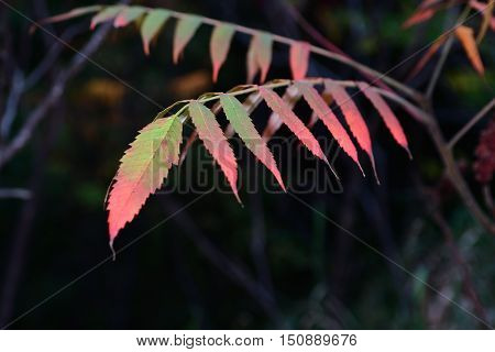 Fall Colorful long Leaves well-lit multi-color dark background
