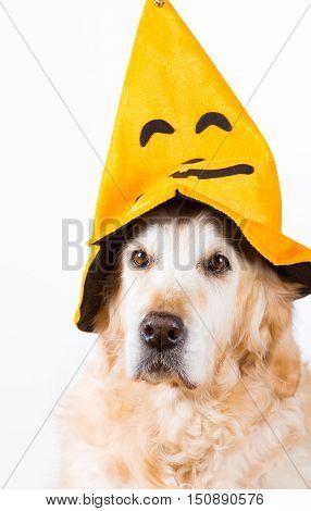 Golden Retriever dog with an orange hat Halloween