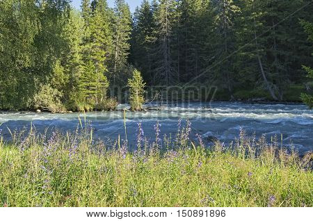 Wildflowers on the shore of a mountain river. Early sunny summer evening. The Kucherla river Altai Mountains Russia.