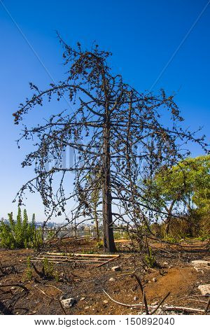 Land with trees after fire Burned forest charred trees after fire