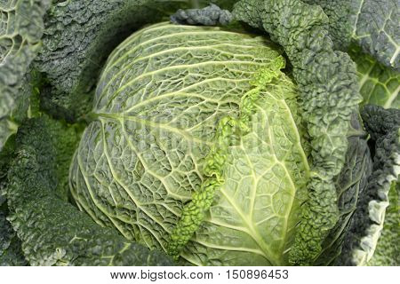 Kale or leaf cabbage is a group of vegetable cultivars within the plant species Brassica oleracea