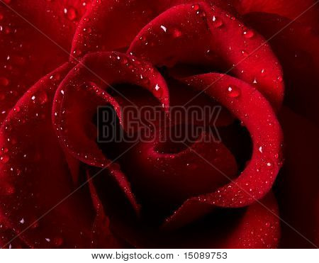 Close-up picture of a beautiful red rose with water drops