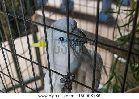 Portrait of a white parrot in captivity on Fuerteventura, Spain