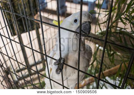 Portrait of a white parrot in captivity, Fuerteventura, Spain.