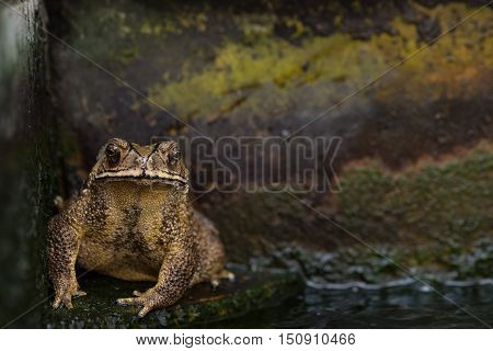Close up of big yellow toad sitting on stone floor in the pool.