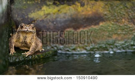 Close up of big yellow toad sitting on stone floor in the pool with space for text.