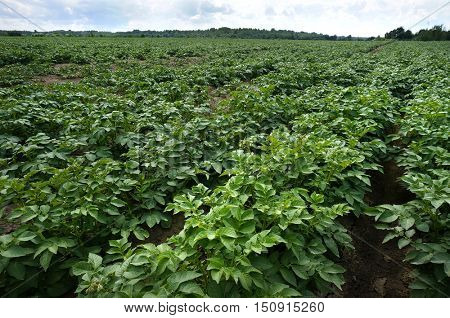 Potato Field with blue sky , Green field of potato crops in a row.