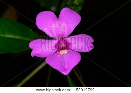 Impatiens Violiflora Hook.f., Balsaminaceae