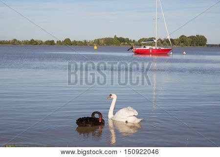 Two white swans white and black on the river and red boat on background
