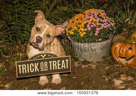 A cute puppy trick or treating on Halloween.