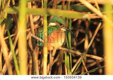 Emerald bird sitting in the bush, common kingfisher , Alcedo atthis