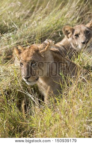 Juvenile african lion resting in front of lioness Masai Mara National Reserve Kenya Africa