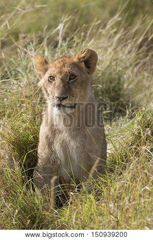 Juvenile african lion closeup Masai Mara National Reserve Kenya Africa