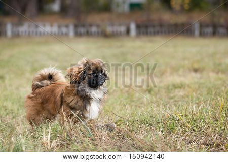 Pekingese is walking on the field with dry grass in the autumn park.