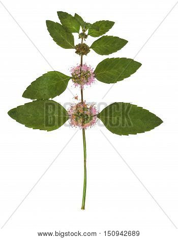 Pressed and dried bush mint. Isolated on white background. For use in scrapbooking floristry (oshibana) or herbarium.