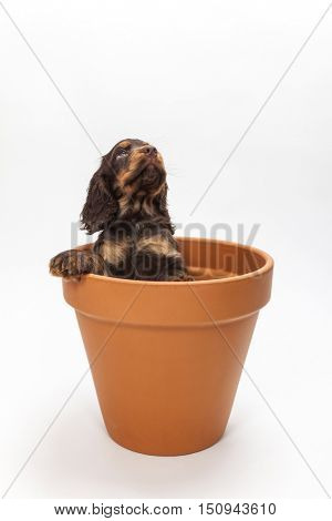 Cute Cocker Spaniel puppy dog looking up expectantly from inside a big flower pot