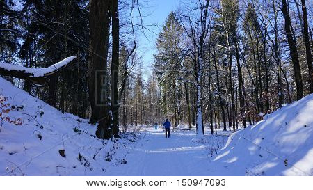 cross-country skiers on a tour through the winter forest; snow-covered deciduous trees and conifers; sunny day