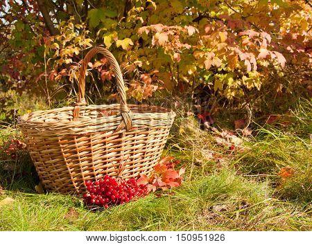 Beautiful autumn. Autumn harvest - Viburnum berries in the basket on grass.