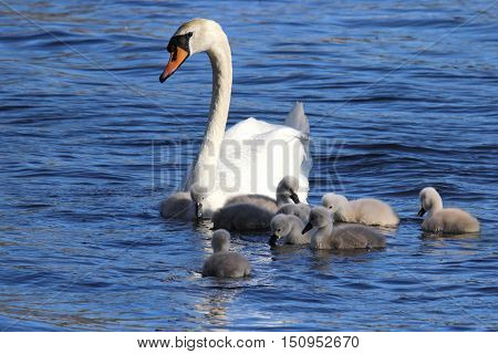 A female mute swan swimming on a lake with her cygnets.