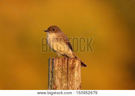 An eastern phoebe perching on a post at dusk.