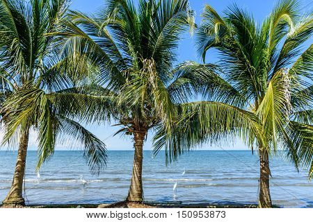 Coconut palms & egrets on beach in Caribbean town of Livingston, Guatemala