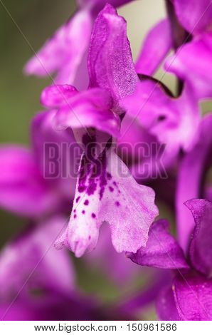 Early Purple Orchid Flower Detail – Orchis Mascula
