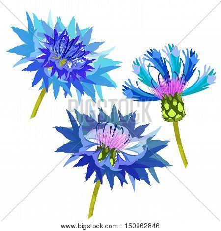 Set Of Field Flowers Cornflower. Vector Illustration