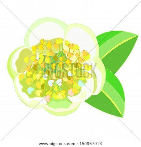 Flowering Tea Bush Camellia Chinese. Vector Illustration